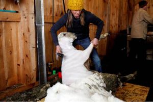Gwen Hinman, of Acworth, N.H., wrangles a sheep while shearing its fleece at Peggy and Todd Allen's Savage Hart Farm on Saturday, March 25, 2017, in Hartford, Vt.